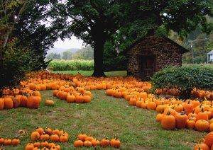 A field of scattered pumpkins